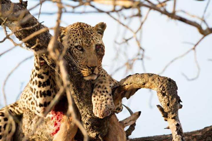 Anderson Leopard Jt 3