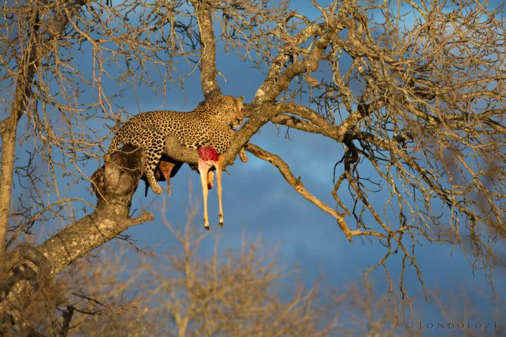 Anderson Leopard Jt