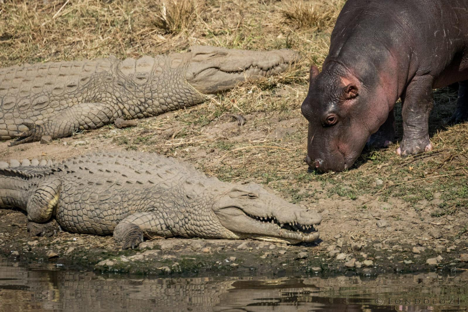 Do Hippos Eat Crocodiles?
