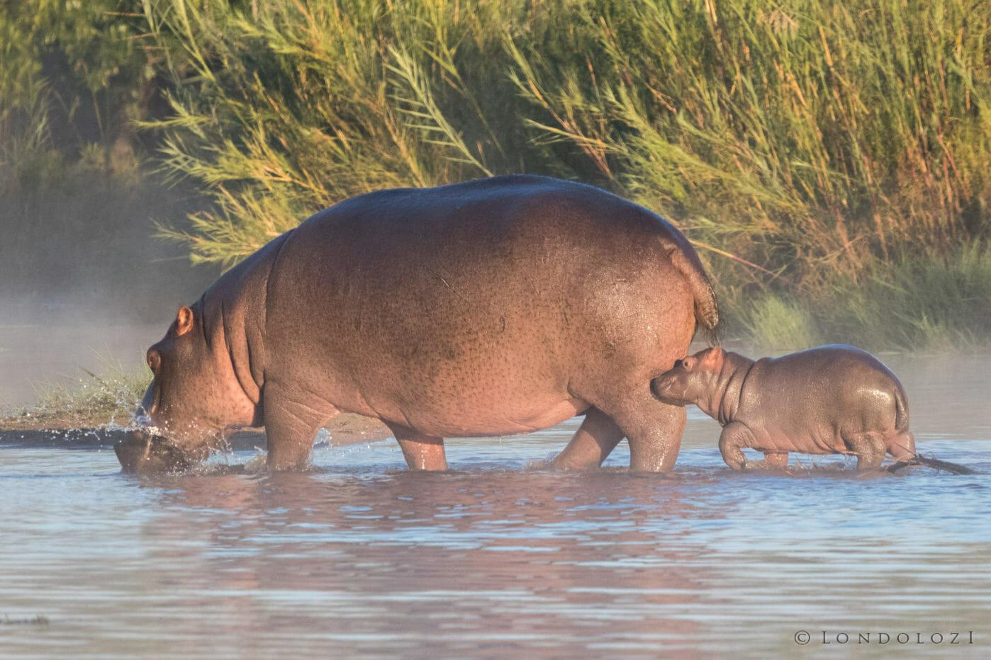 Dean De La Rey Hippo And Calf