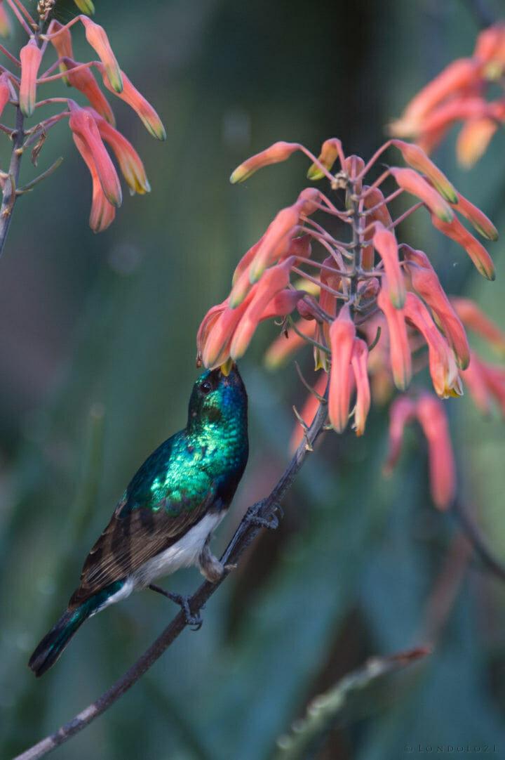 Nick Sims Sun Bird