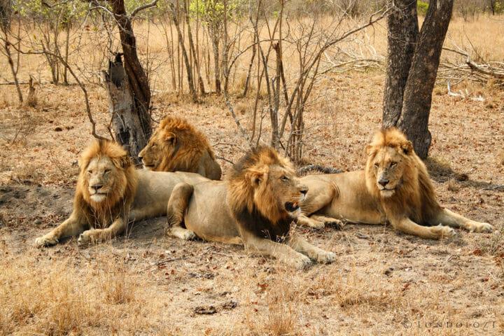 Majingilane Male Lion