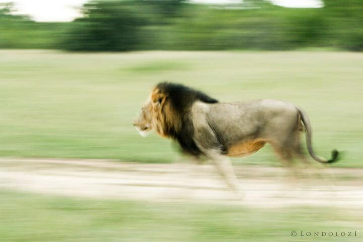 Majingilane Male Lions 2