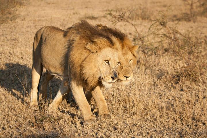 Majingilane Male Lions 3