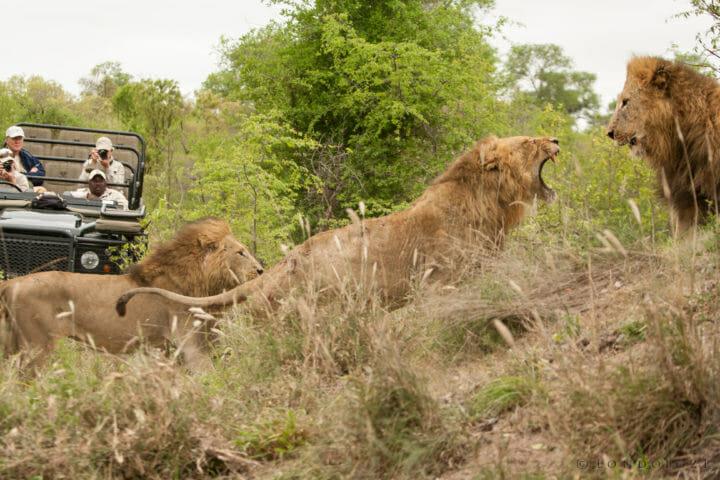 Majingilane Male Lions 4