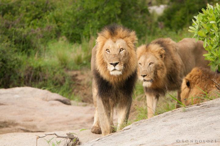 Majingilane Male Lions 5