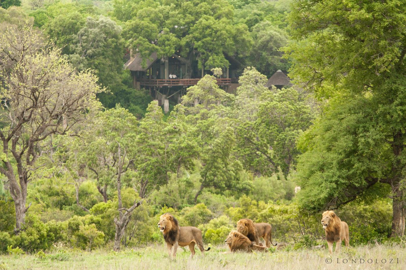 Majingilane Male Lions 6