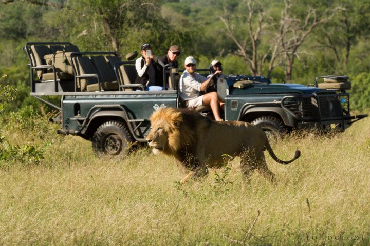 Majingilane Male Lions 7