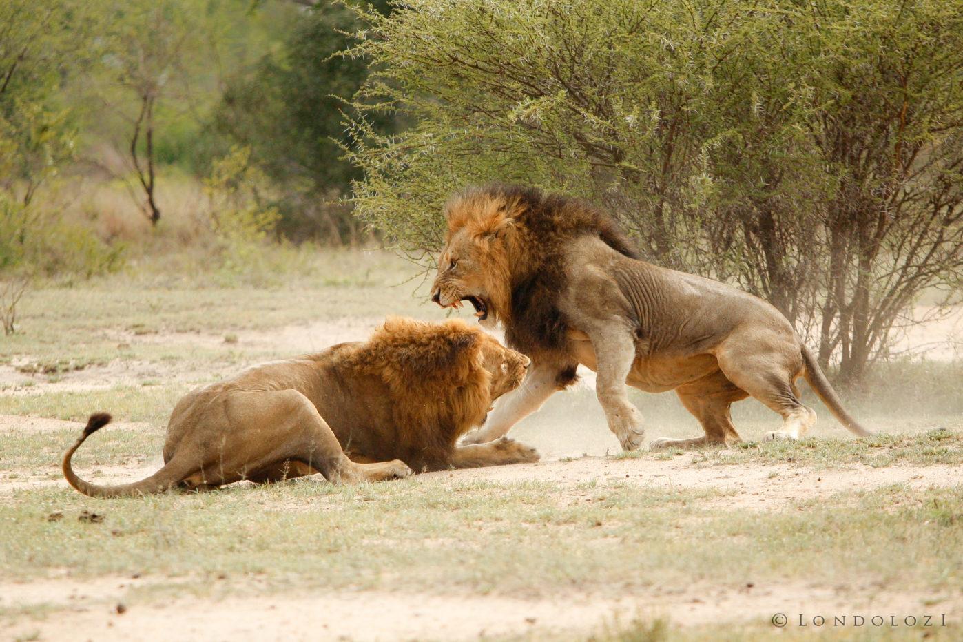 Majingilane Male Lions