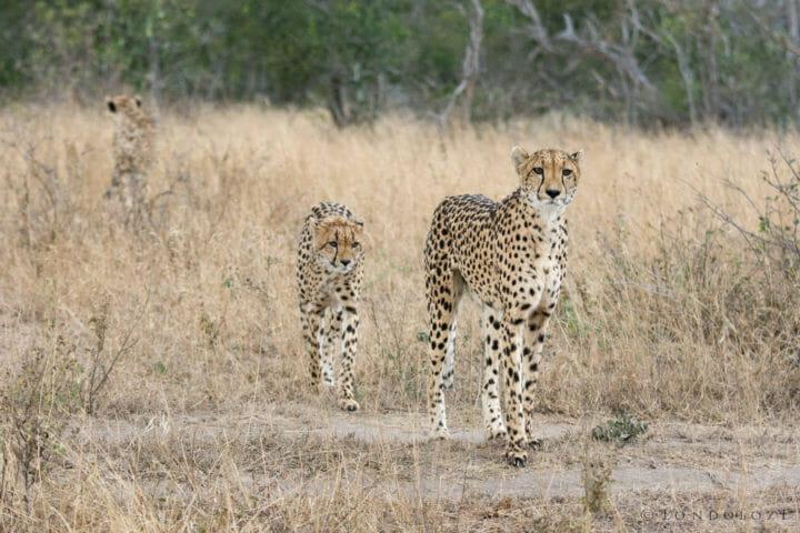 Cheetah Sz 2