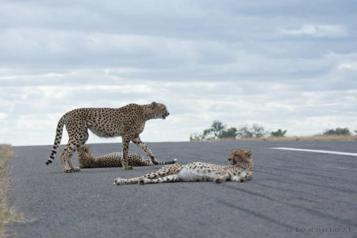 Cheetah Sz 4