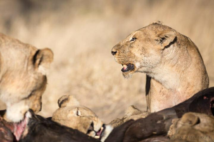 Mkahuma Mhangeni Lions Jt 4