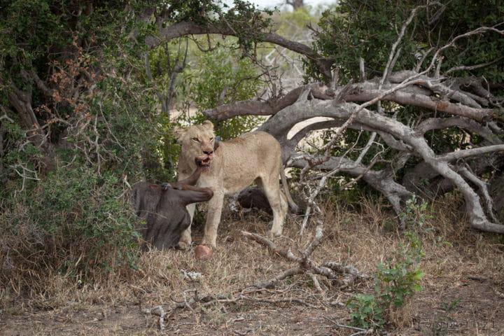 tsalala, lioness, kill, wildebeest