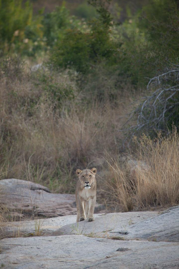Lion, lioness, pride, tsalala