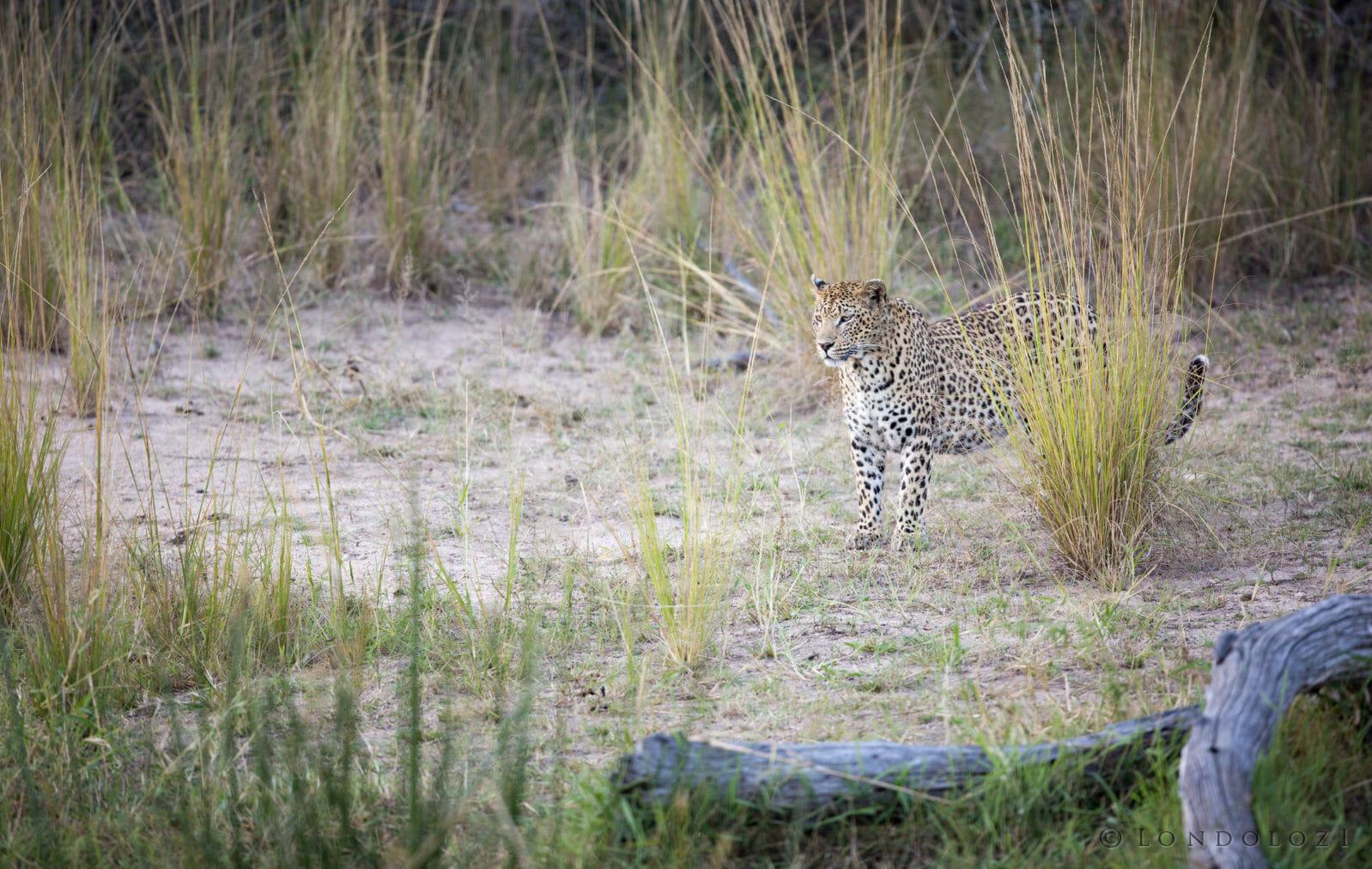 Mashaba Female Leopard Jt