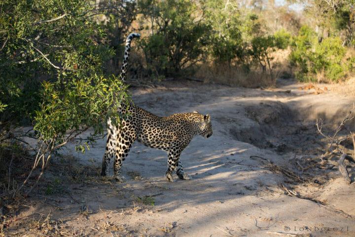 Ndzanzeni Young Male Leopard Jt 2
