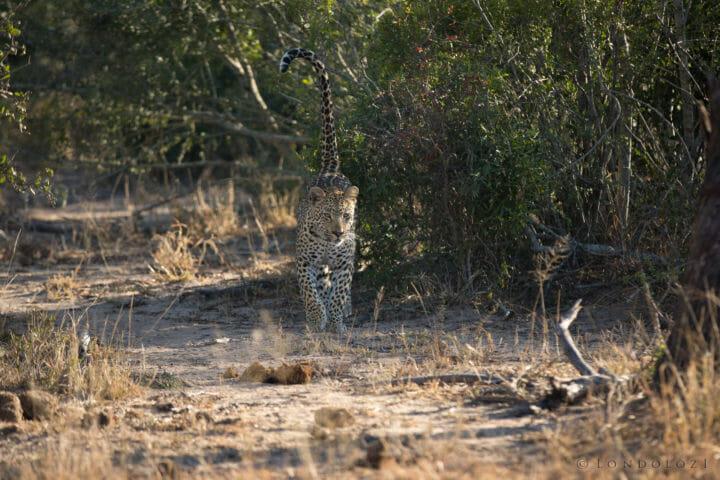 Ndzanzeni Young Male Leopard Jt 3