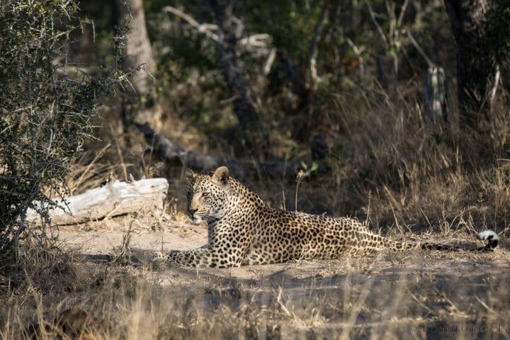 Ndzanzeni Young Male Leopard Jt 4