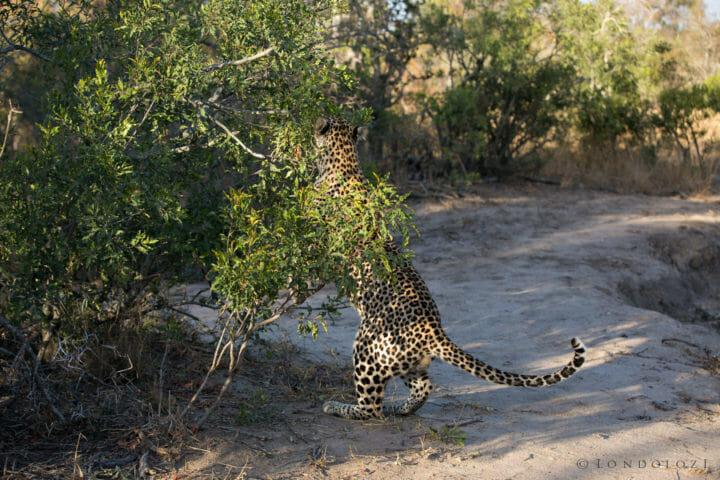 Ndzanzeni Young Male Leopard Jt