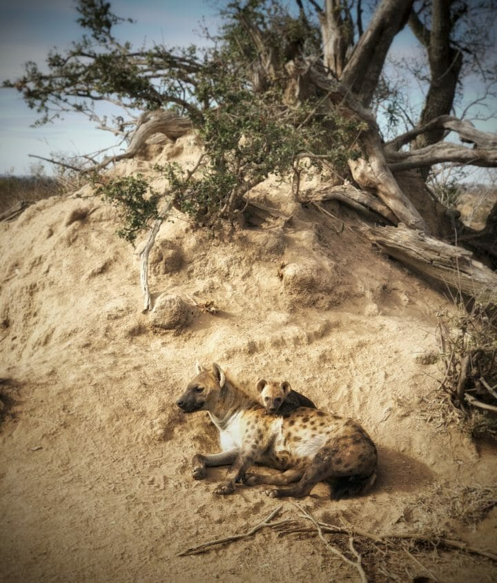 A mother hyena lies on a termite mound with its cub peering up from behind her at Londolozi