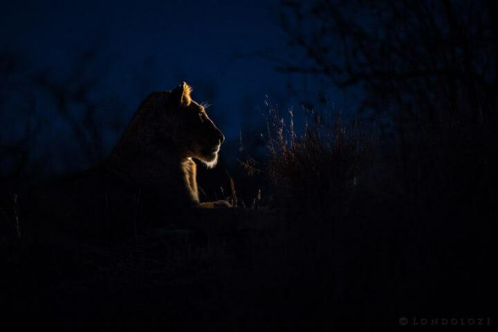 Tsalala Lioness 2