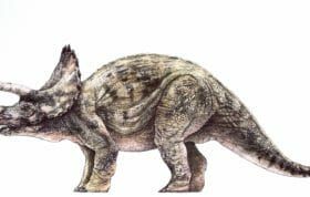 Adult Triceratops Small