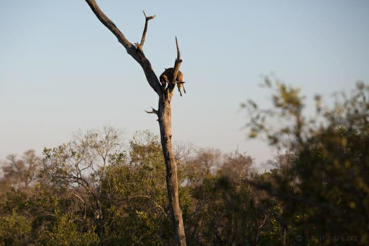 Nanga Female Leopard Full Moon Duiker Kill