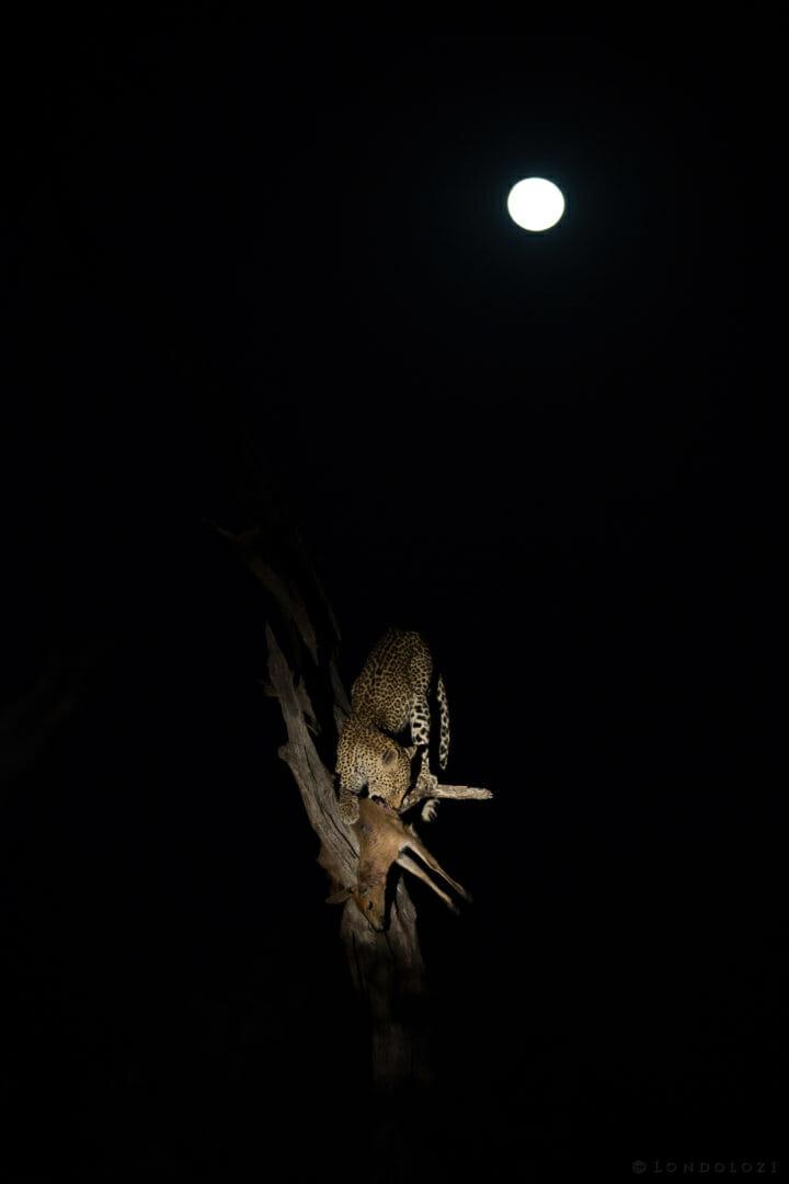 Nanga Female Leopard Full Moon 5
