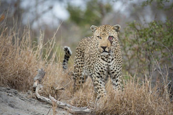 Anderson Male Leopard