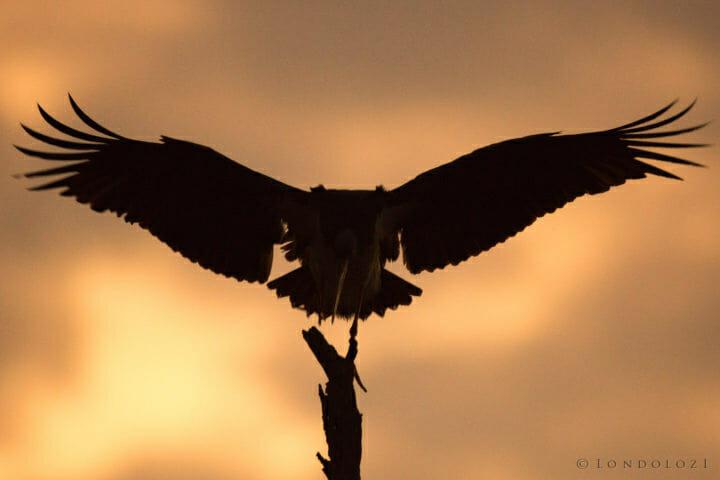 Black Stork Silhouette