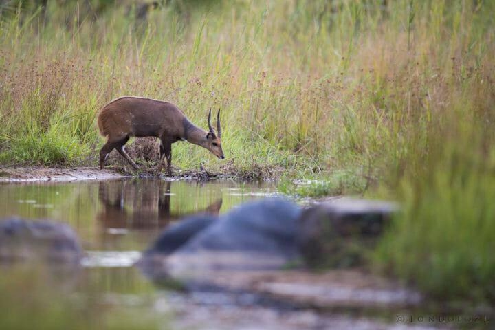 Bushbuck Drink