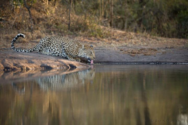 Mashaba Leopard Drink