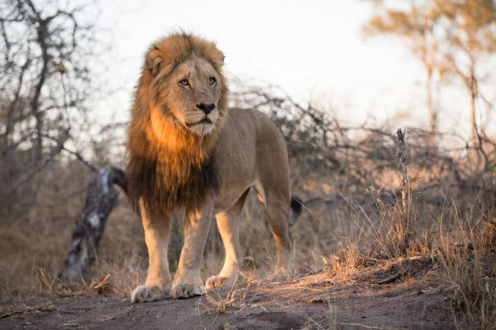 Birmingham Male Lion