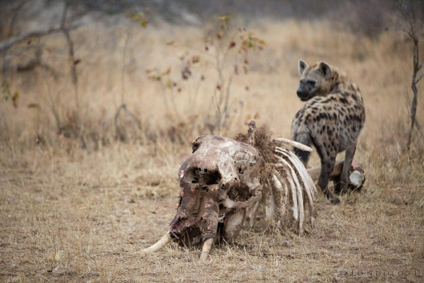 Elephant Carcass Hyena