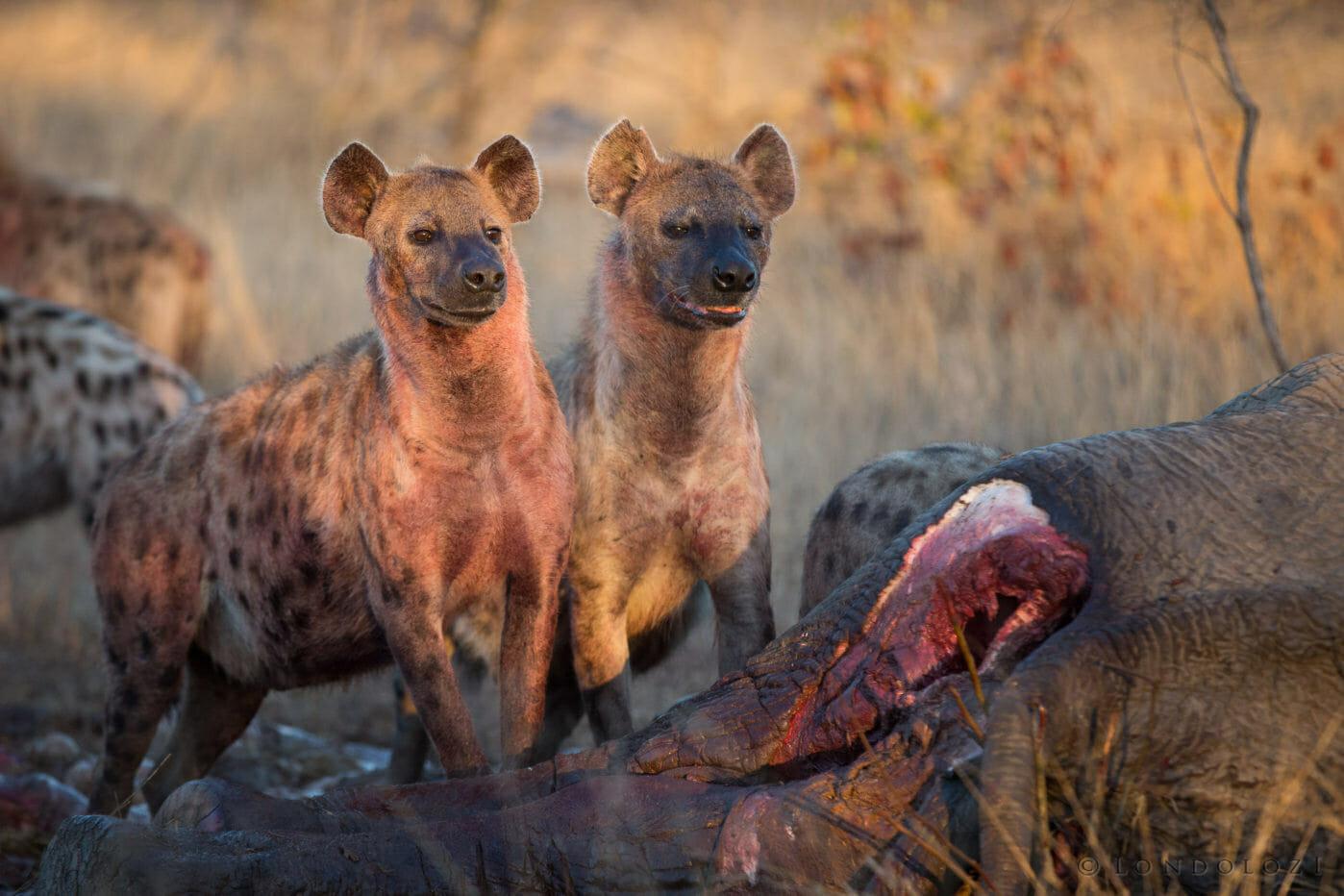 Vulture Hyena Elephant Carcass 2