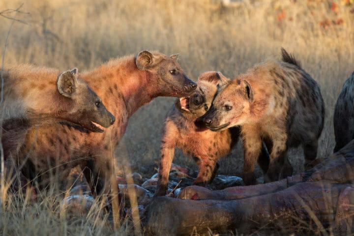 Vulture Hyena Elephant Carcass 3
