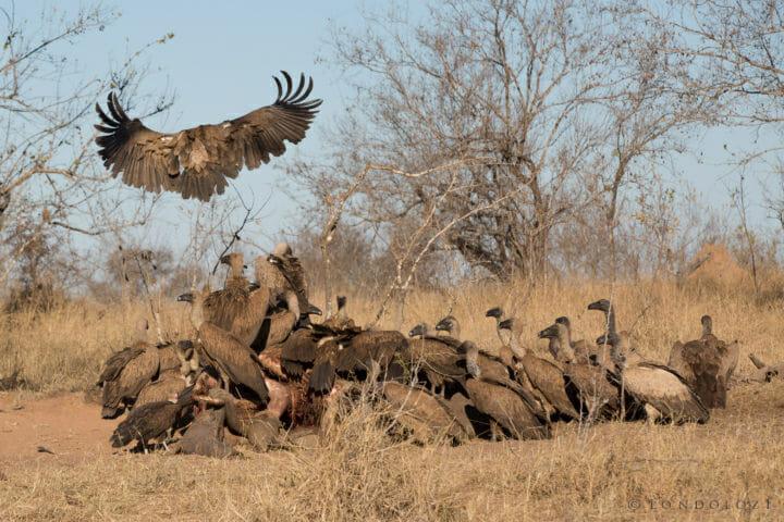 Vulture Hyena Elephant Carcass 4