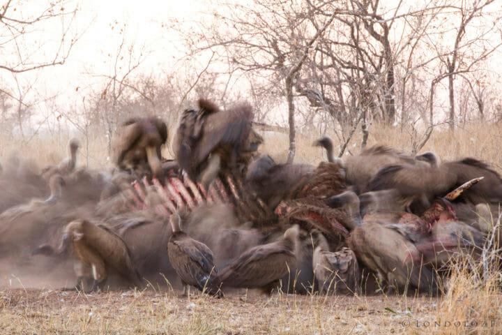 Vulture Hyena Elephant Carcass 5