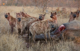 Vulture Hyena Elephant Carcass