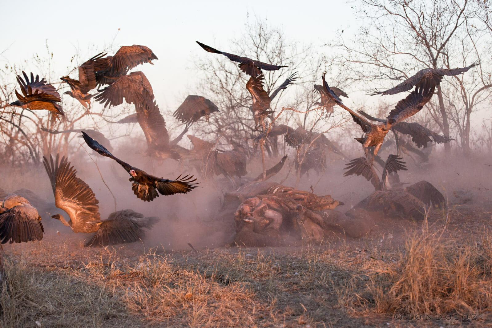 Vultures Scatter