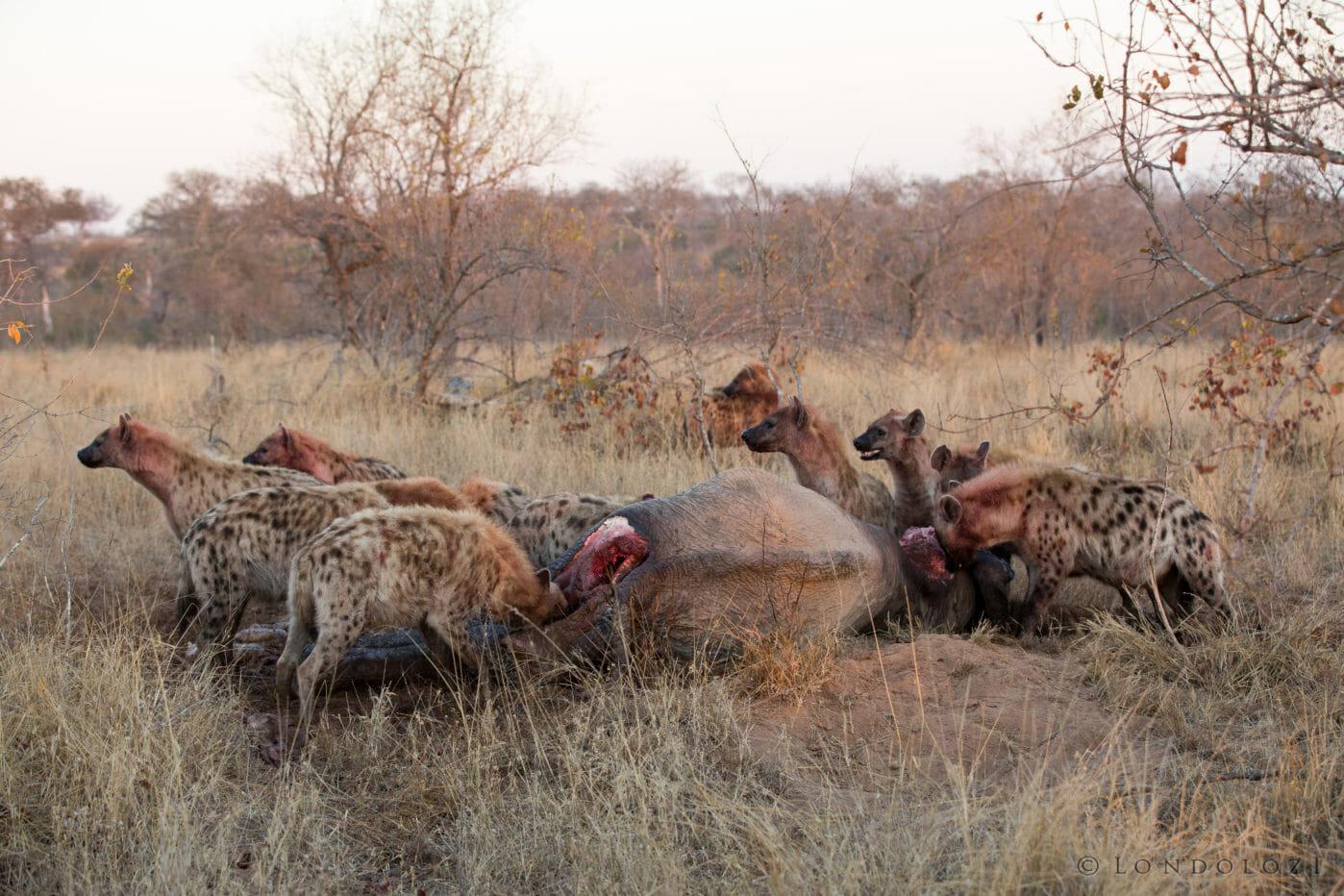 Hyenas Together Elephant