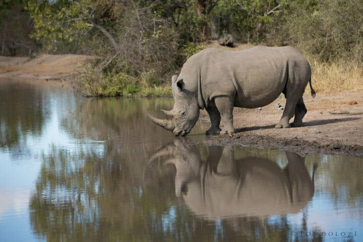 Rhino Drinking