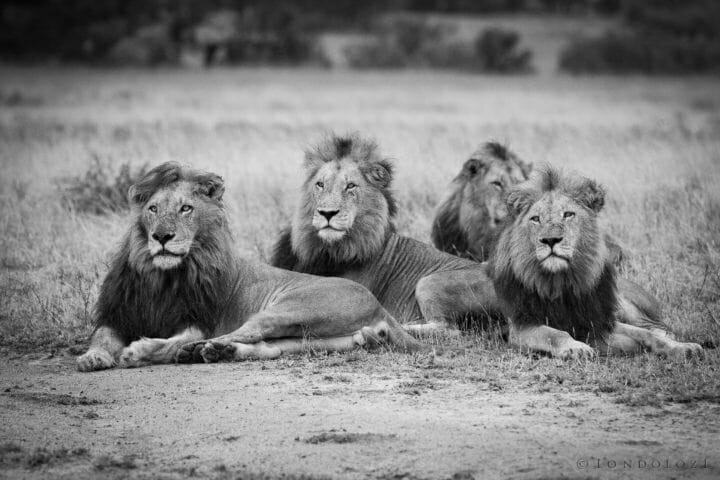 4 Male Lions Together Bw Jamestyrrell Copy