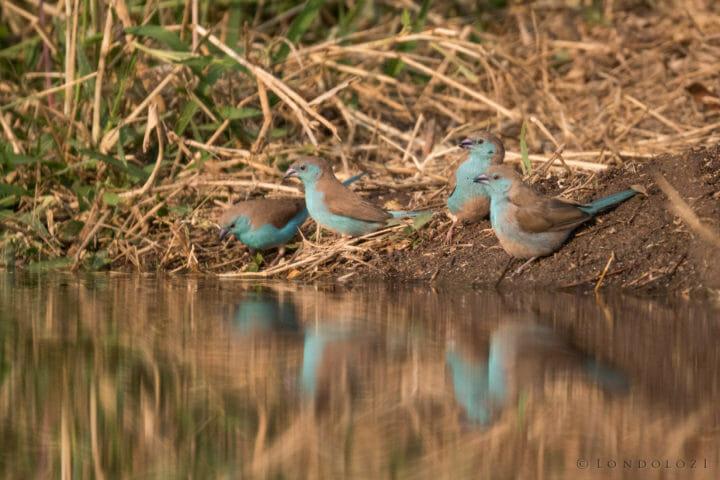 Blue waxbill birds drinking water with beautiful reflections at Londolozi