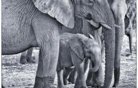 Elephant Calf And Herd Rich Laburn