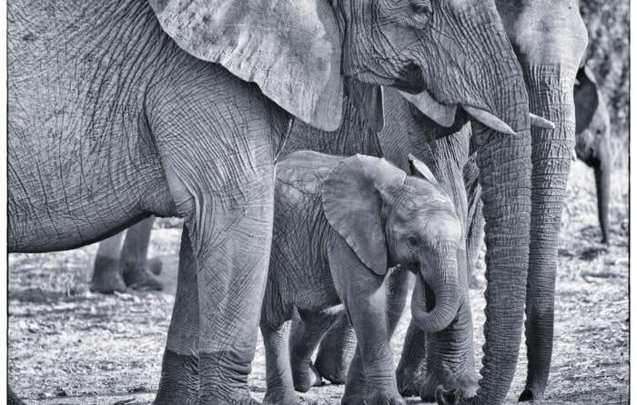 Elephant Calf And Herd Rich Laburn