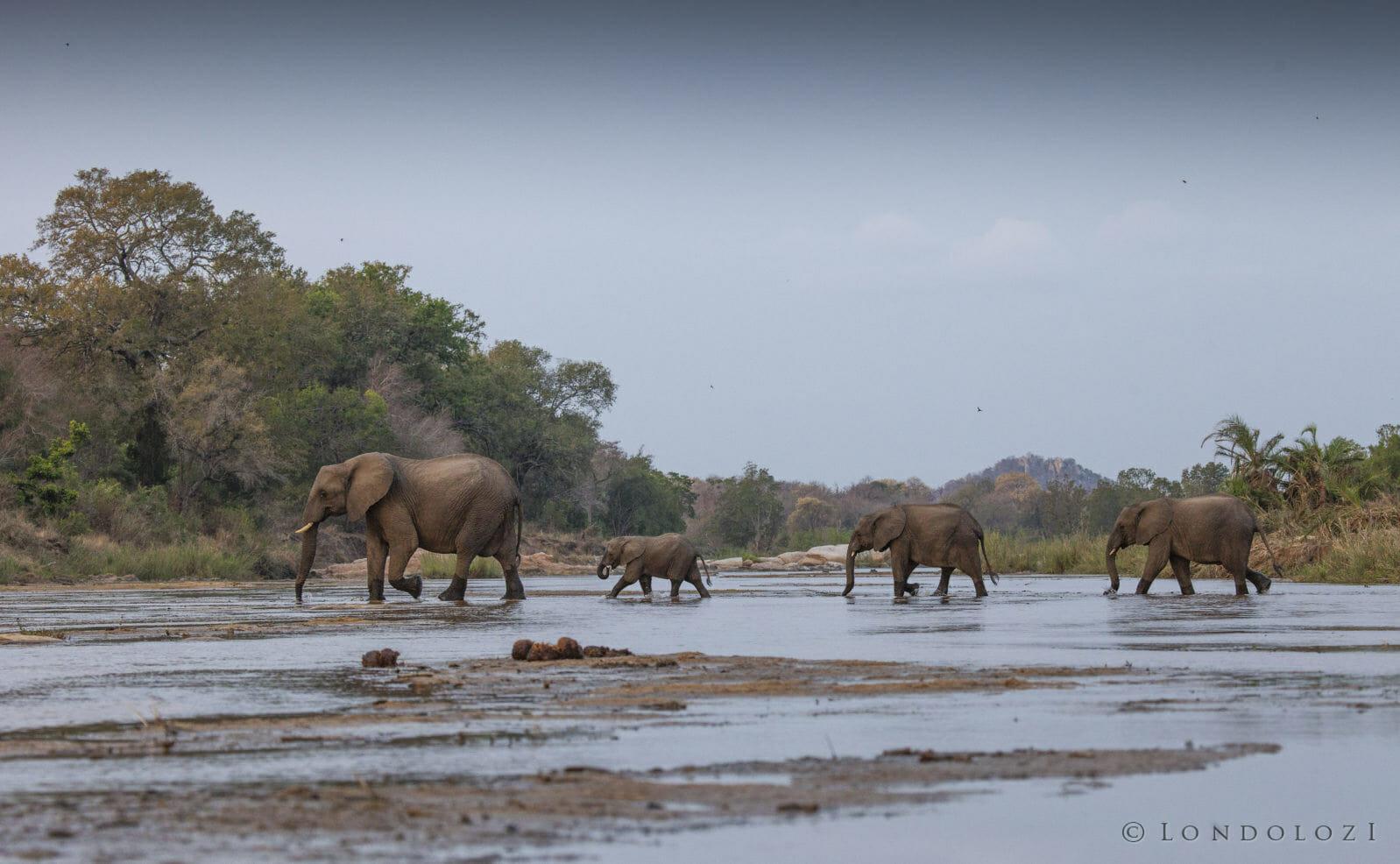 Elephant Herd Crossing Sand River Rich Laburn