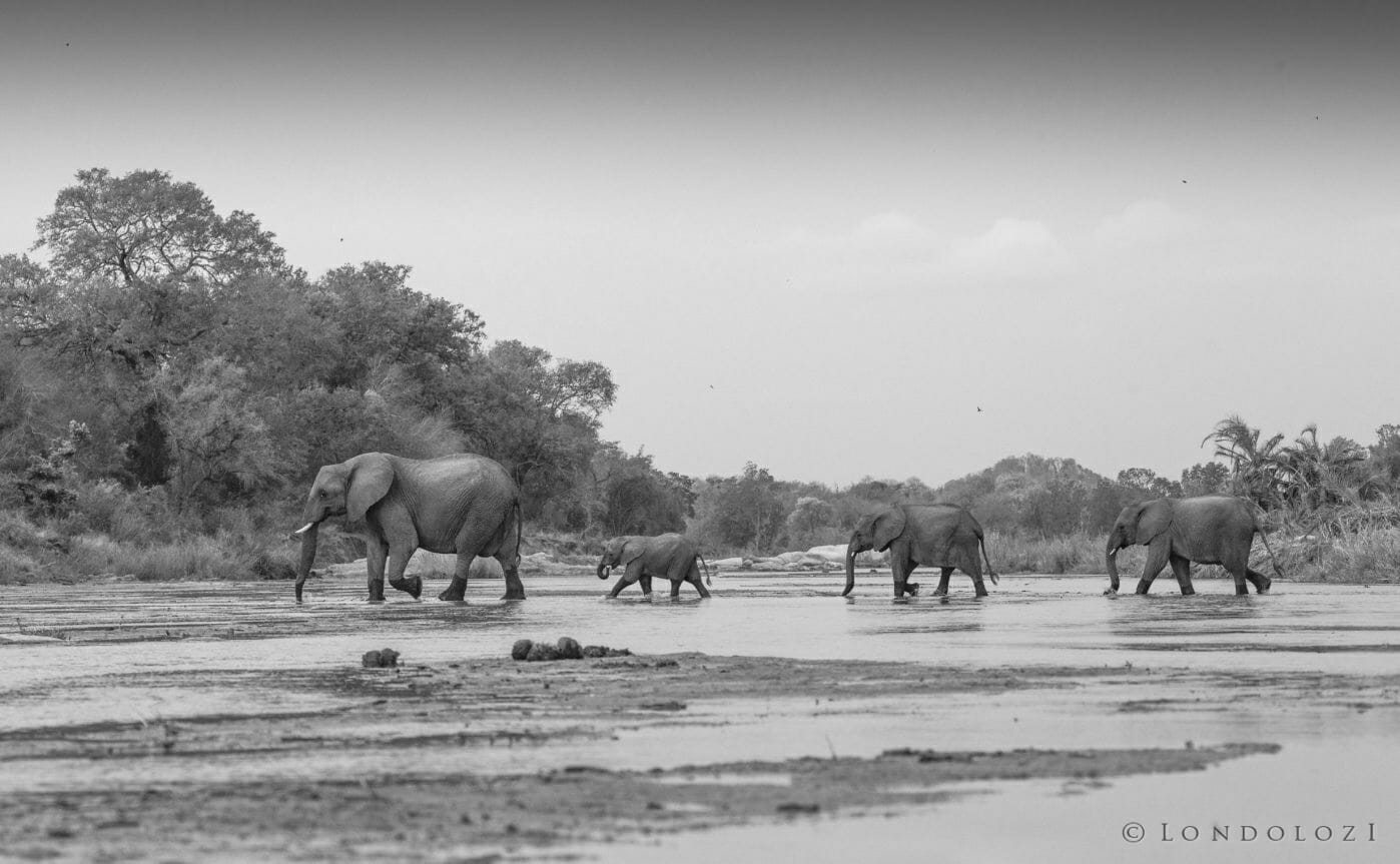Elephant Herd Crossing Sand River in single file in black and white taken by Rich Laburn