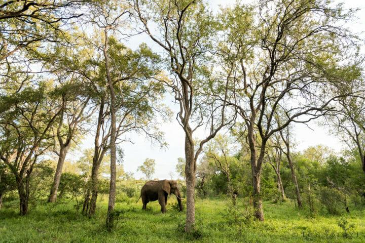 Elephant In Forest David Dampier