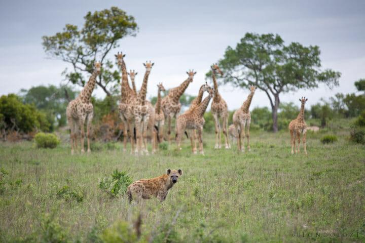 Giraffe And Hyenas James Tyrrell
